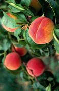 11 peaches yakima valley wa farming agronomics - stock photo