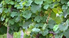 Germany - Hesse - Rheingau - grape vine Stock Footage