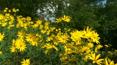 Yellow Flowers Blown by wind HD Stock Footage