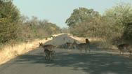 P02110 Baboon Troop and Impala on Road at Kruger National Park Stock Footage