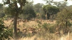 P02112 Scene of African Wildlife in the Savannah Stock Footage