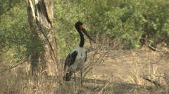 P02125 Saddle-billed Stork at Kruger National Park Stock Footage