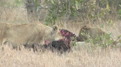 P02120 Lions Eating Cape Buffalo at Kruger National Park Stock Footage