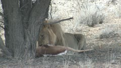 P02101 Lion Eating Springbok in the Kalahari Stock Footage