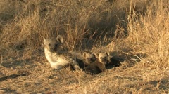 P02108 Hyena and Young at Kruger National Park Stock Footage