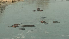 P02124 Hippos in Pool at Kruger National Park Stock Footage