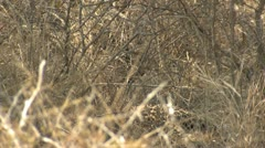 P02111 Leopard Hiding in the Grass at Kruger National Park Stock Footage