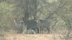 P02114 Herd of Waterbuck and Heat Distortion on Hot Day Stock Footage