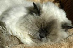 cat lilacpoint himalayan breed feline sleeping - stock photo