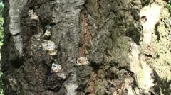 Nut Hatch climbing a tree Stock Footage