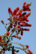 tree floral fire chilean embothrium coccineum - stock photo