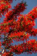 tree floral fire chilean embothrium coccineum - stock photo