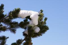 Snow covered pine tree detail accessory addendum Stock Photos