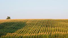 scenic field sorghum highway 95s pharma idaho id - stock photo