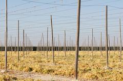 String green bean farm support structure poles Stock Photos