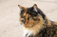 calico cat staring horizontal feline portrait - stock photo