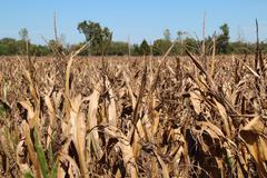 Withered Corn Field - stock photo