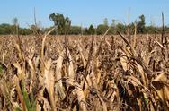 Stock Photo of Withered Corn Field