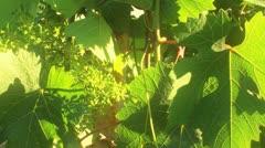 grape - stock footage
