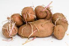 Germinating potatoes Stock Photos