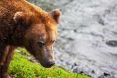 Stock Photo of bear on alaska