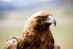 golden eagles profile - stock photo