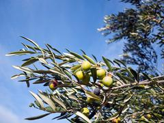 Stock Photo of Olive tree with blue sky background