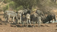 P02129 Zebra and Wilderbeest at Waterhole at Kruger National Park Stock Footage