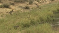 P02138 Waterbuck Herd Along River at Kruger National Park Stock Footage