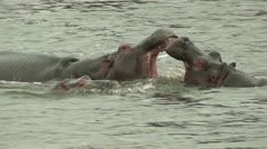 P02135 Hippos Fighting Playing and Splashing in Africa Stock Footage