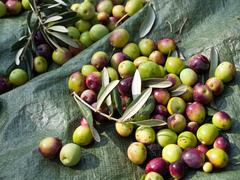 Stock Photo of Olive fruits close up