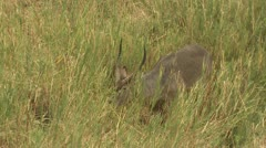 P02137 Waterbuck Feeding on Grass at Kruger National Park Stock Footage