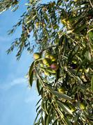 Stock Photo of Olive tree vertical