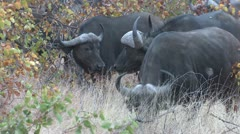 P02140 African Cape aka Water Buffalo at Kruger National Park Stock Footage
