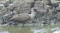 P02149 Ibis at Kruger National Park Stock Footage