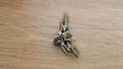 Spurge Hawk Moth flipping wings, Hyles euphorbiae Stock Footage