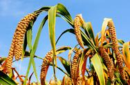 Millet fields Stock Photos