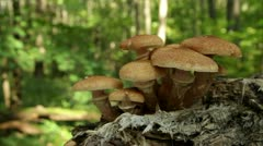 edible mushrooms - stock footage