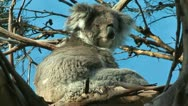 Koala relaxing Stock Footage