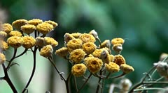 Tansy and rain Stock Footage