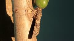 Camouflaged Spurge Hawk Moth, Hyles euphorbiae Stock Footage