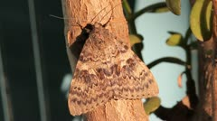 Spurge Hawk Moth in the sun, Hyles euphorbiae Stock Footage