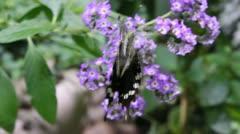 Black Swallowtail butterfly landing on flowers Stock Footage