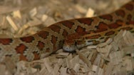 Rat snake Stock Footage