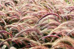bristle grass herb - stock photo