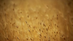 Yellow grain ready for harvest growing in a farm field Stock Footage