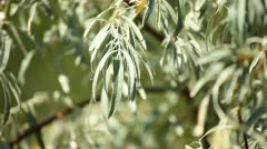 Olive tree with ripe olives over blurred background Stock Footage