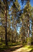 Altai pine forest Stock Photos