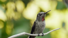 Ana's Hummingbird Flies Off Stock Footage