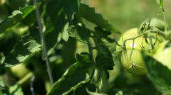 Green Tomatoes - Slider Left Stock Footage